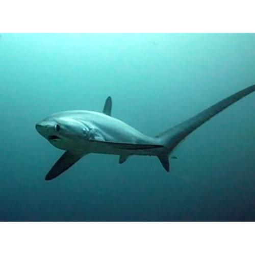 Tiburon zorro, Filipinas